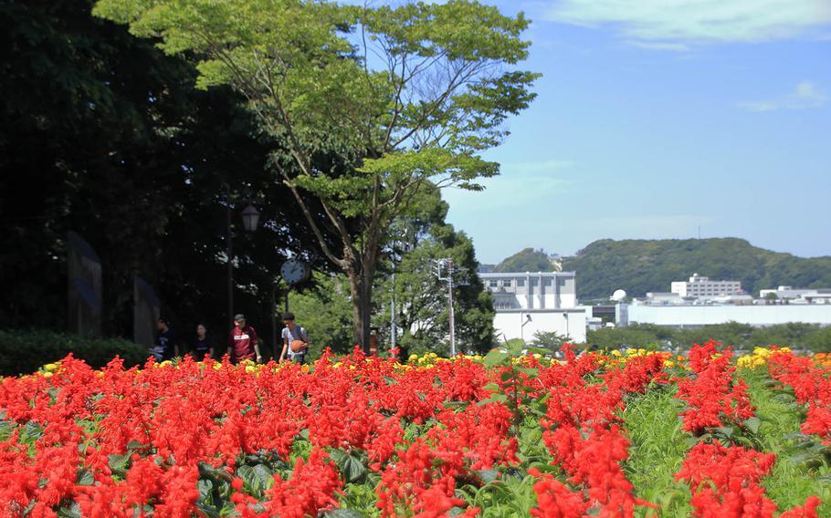 Visitors can enjoy colorful blooms year-round at Kurihama Flower World near Yokosuka Naval Base, Japan.