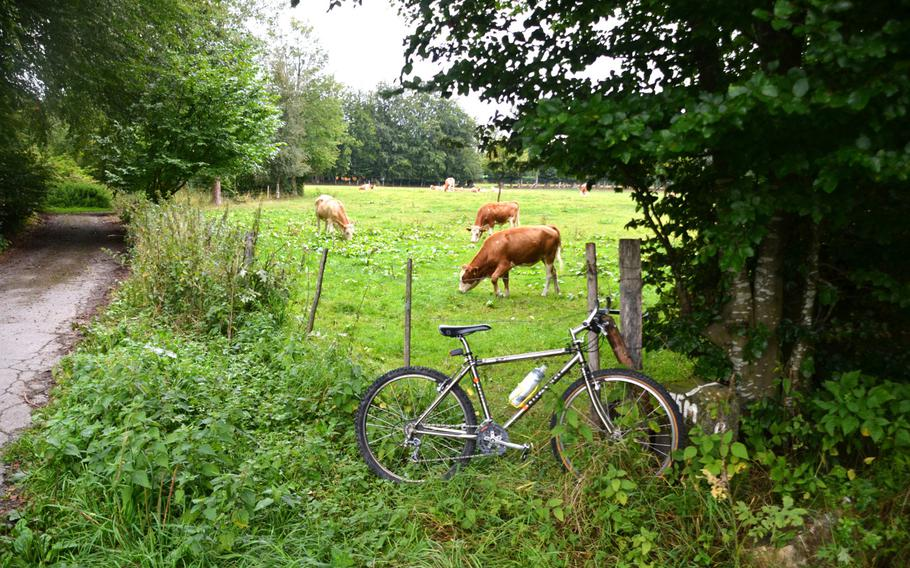 Cows graze in a pasture next to the Vennbahn bike path near Monschau, Germany, on Sept. 1, 2020. The path passes back and forth across Germany's border with Belgium as it passes on a ridge above Monschau, a town on the Rur River, known for its 300-year-old half-timbered houses.