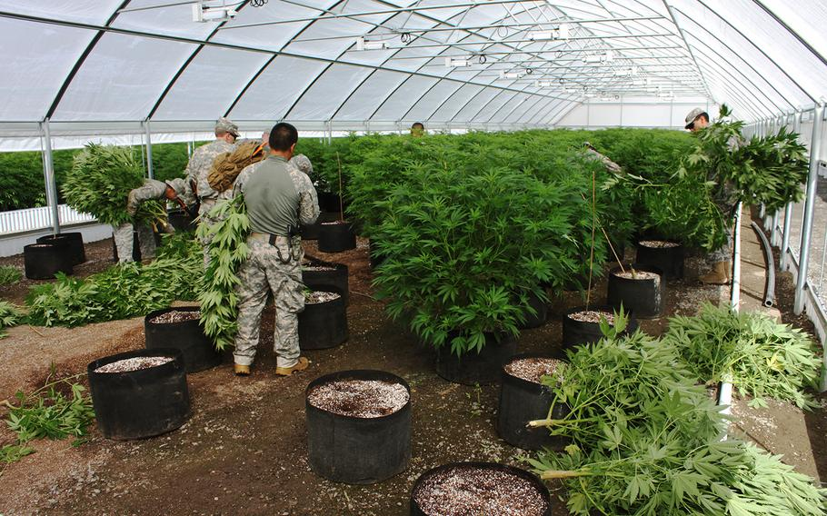 Members of the Counterdrug Task Force cut down cannabis plants that were cultivated illicitly on Pit River tribal lands in California on July 8, 2015.