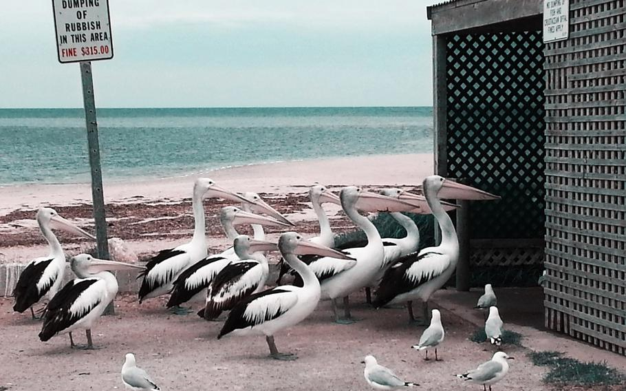 """Melissa Little, """"Pelican Feeding""""   These pelicans are resident on the point at Port Vincent on the Yorke Peninsular in South Australia and have become as opportunistic as the seagulls waiting for fish offal. January 2014"""