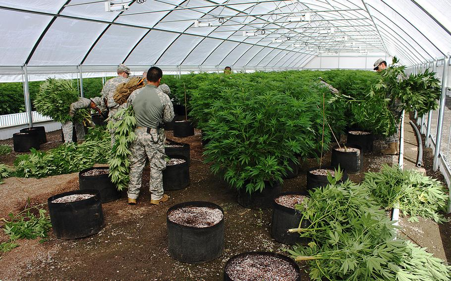 Members of the Counterdrug Task Force cut down illicitly cultivated marijuana on Pit River tribal lands in California, on July 8, 2015.