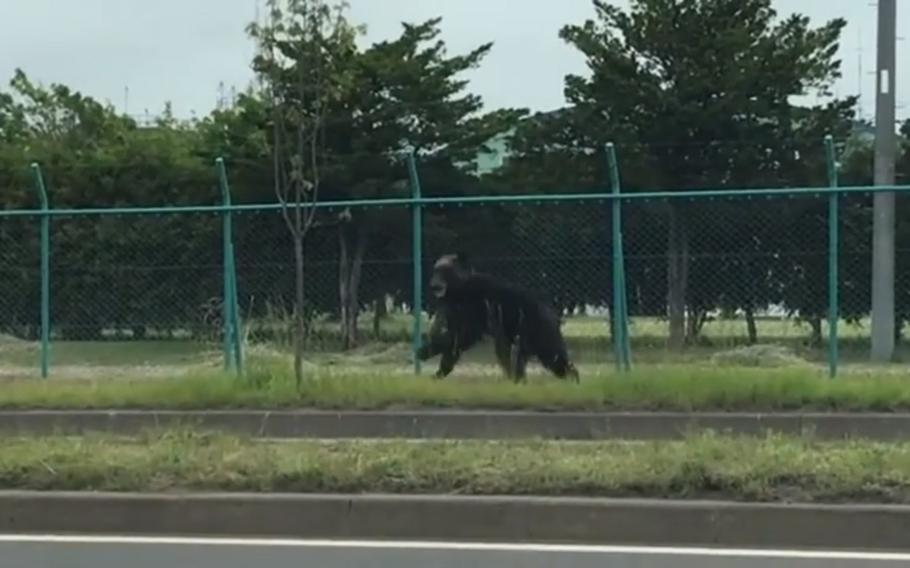 A bear that bit and injured a Japan Ground Self-Defense Force member is spotted at Camp Okadama, Hokkaido, Friday, June 18, 2021.