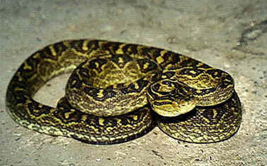 Habu snake.