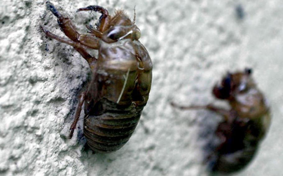 The eerie dried shells of cicada nymphs remain on a wall at Yongsan Garrison after their hosts have headed to the trees to find a mate.