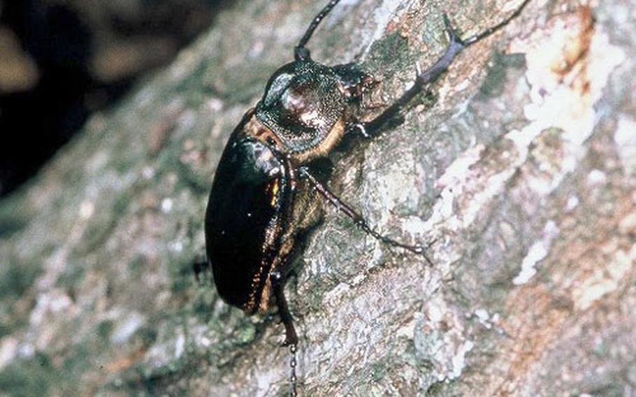 Poachers are encroaching on the Jungle Warfare Training Center to collect the Yanbaru Long-armed Scarab Beetle, an endangered stag beetle found only in northern Okinawa.