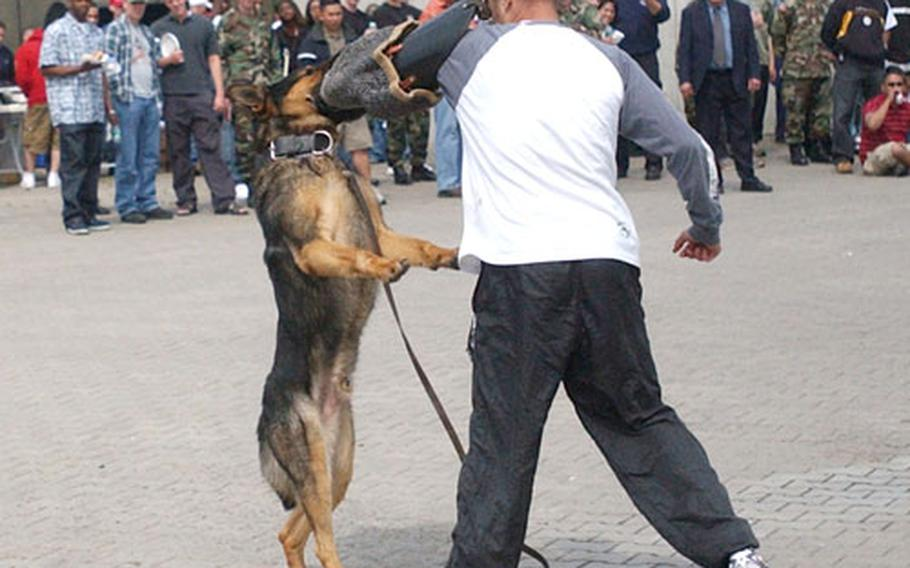 """Military working dog, Cedo, bites """"purse snatcher"""" Sgt. Richard S. Glosson of the 529th Military Police Company."""