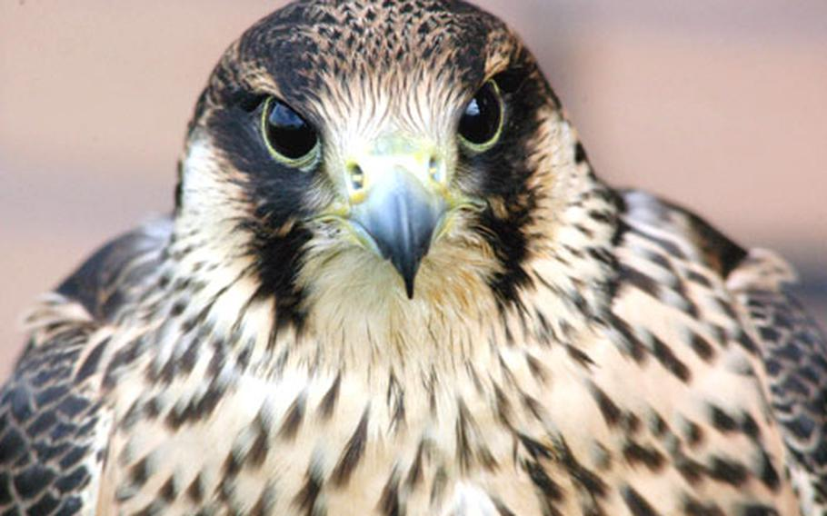 One of Keith Mutton's most deadly birds, Scarlet, the young peregrine falcon, foregoes any scare tactics and is used strictly for hunting around the airfield.