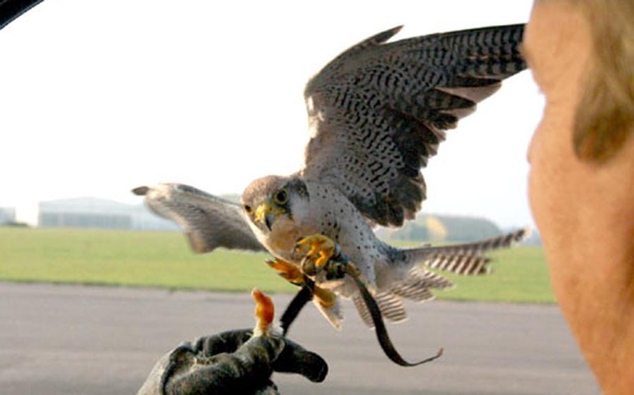 Pip, a lanner falcon, prepares to land on Keith Mutton's hand, in which he is holding a morsel of food.
