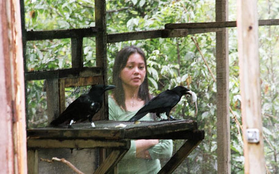 One of the Marianas crows brings a dead mouse into its cage. The mouse was set out to coax the birds out into the surrounding jungle at Andersen Air Force Base. Behind the cage is Jenny Duenas, a University of Guam student who is studying the crows.