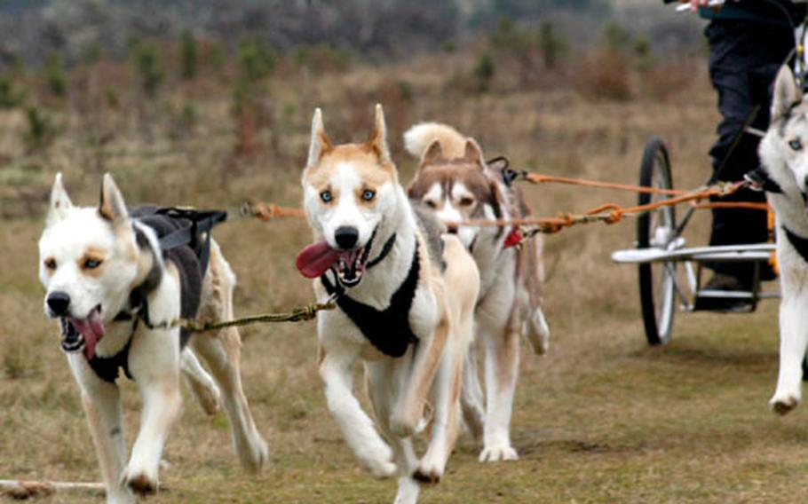 Siberian huskies keep their eyes on the finish line in the final yards of the four-dog races at a recent British Siberian Husky Association race in Elveden Forest.