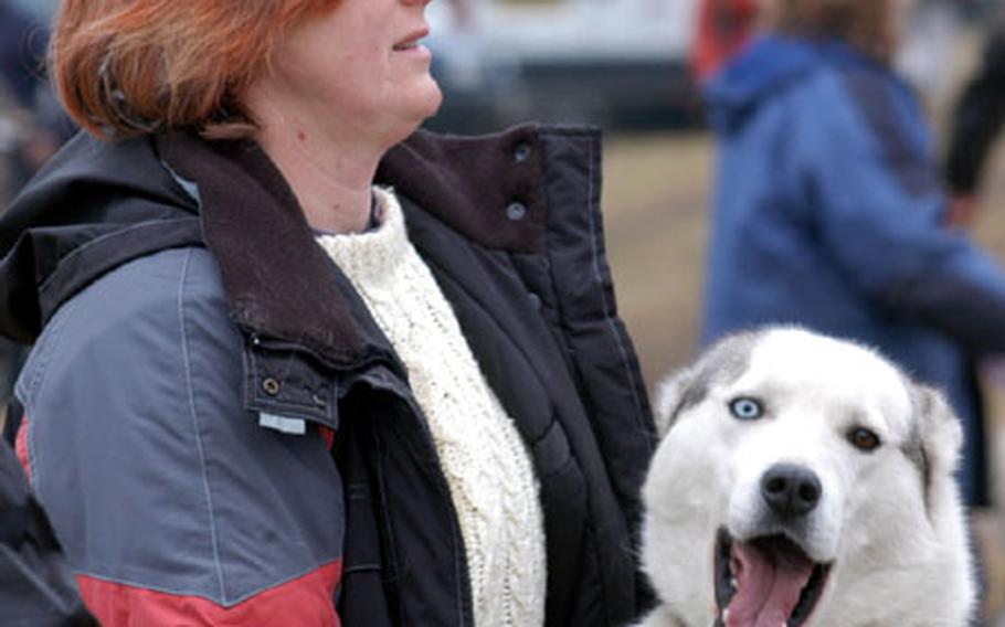 Waltzing with owner Glyn Cameron, Spirit the husky hangs out between races recently at Elvedon Forest.