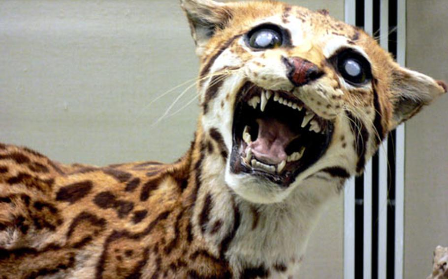 A stuffed South American ocelot glares out at visitors from a display case.