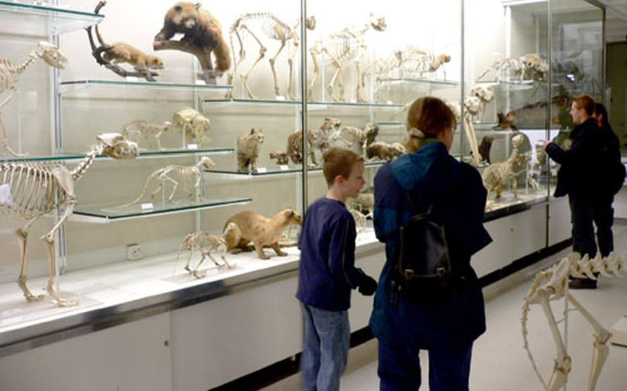 Visitors to the University Museum of Zoology Cambridge peruse a display of mammals.