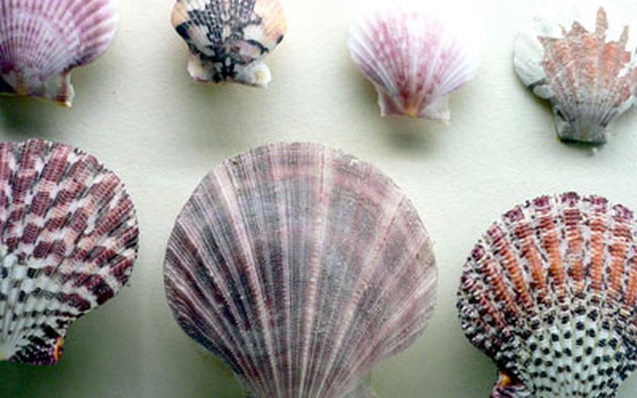 This group of scallop shells is part of the University Museum of Zoology's displays on early forms of sea life.