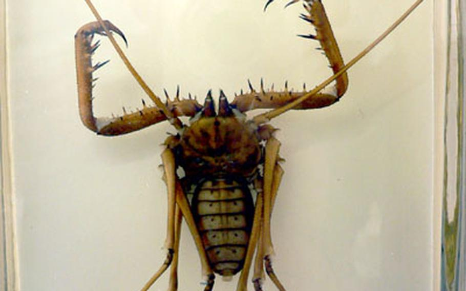 Suspended in a glass jar at the museum is a Mexican scorpion killer. According to the display, the creepy crawler uses the long antenna-like legs to coax scorpions to approach it, then strikes with the barbed forelimbs.