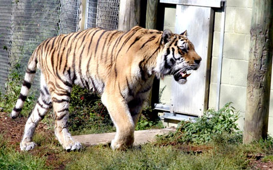 A Siberian tiger walks around an enclosure at the Banham Zoo, about 30 miles east of RAFs Mildenhall and Lakenheath.