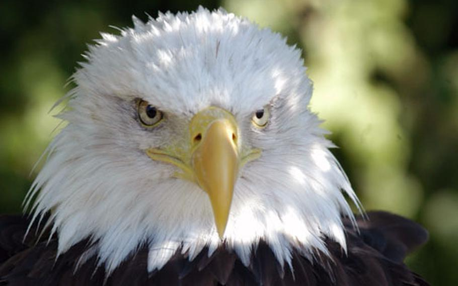 A bald eagle gives a threatening stare to a visitor at the zoo.