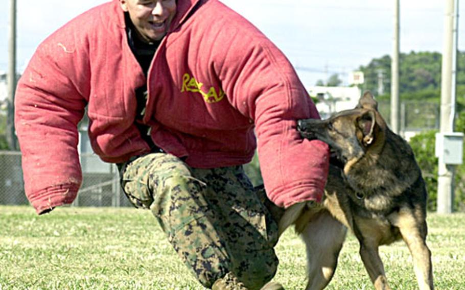 """Meister, a two-year-old German shepherd military working dog, chases Lance Cpl. Dustin Villalobos and drags him to the ground. Villalobos, a military-working-dog handler, admitted that even with the """"bite suit"""" on, he still feels a little fear before the dogs chomp down: """"There's a lot of pressure in their bite."""""""