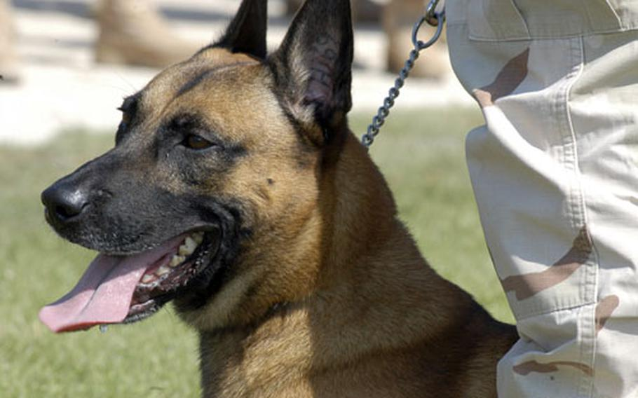 Rocky is a 4-year-old Belgian Malinois assigned to Naval Security Forces Bahrain, Military Working Dog Division. Most of the 20-some dogs in the unit are either Belgian Malinois or German shepherd. The canines are known for the intelligence, devotion to their handlers and their keen sense of smell, sight and hearing.