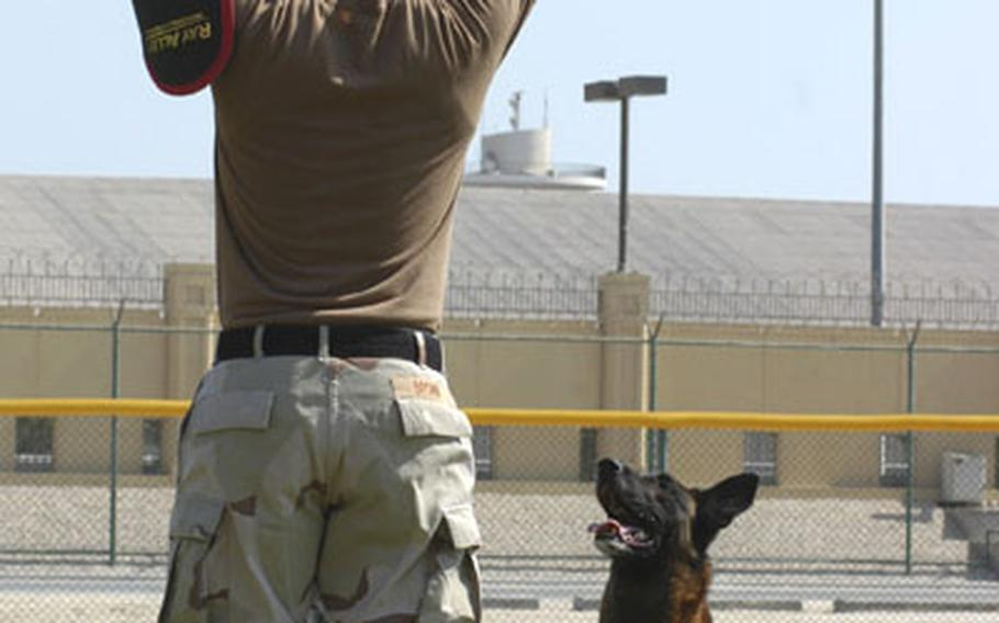 Petty Officer 3rd Class Benjamin Brown holds up his hands in surrender while Joey, a Belgian Malinois stands guard, demonstrating just one of many ways master-at-arms at the U.S. Navy base in Bahrain can use military working dogs in law enforcement.