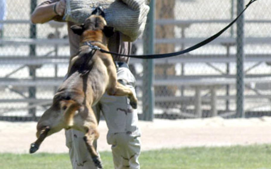 Petty Officer 2nd Class Adam Leeds, a master-at-arms and dog handler, shows off Rocky's grip by swinging him through the air during a military working dog demonstration last week at the U.S. Navy base in Bahrain.