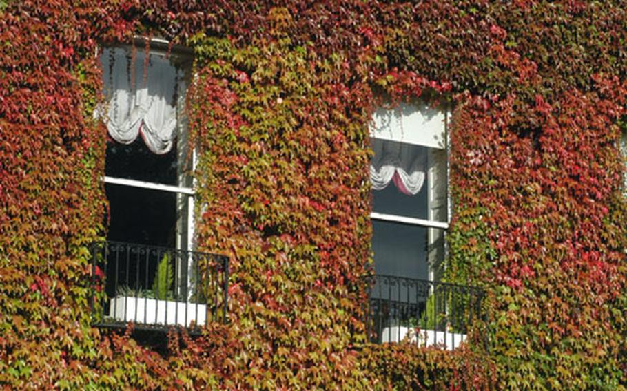 Red, leafy ivy grows over a building in Dublin.