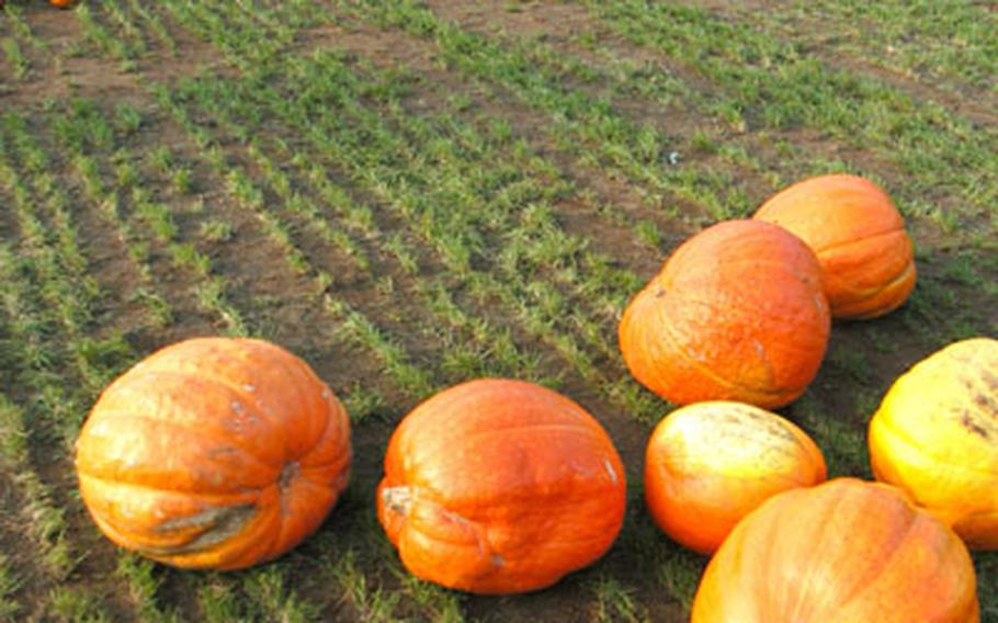 The Pooley Farm in Beck Row has hundreds of pumpkins to buy, plus a haunted maze and more.