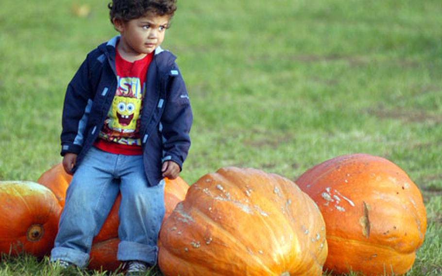 """Dominic Henderson, 3, takes a seat on a """"sumo"""" pumpkin at the Pooley Farm in Beck Row."""