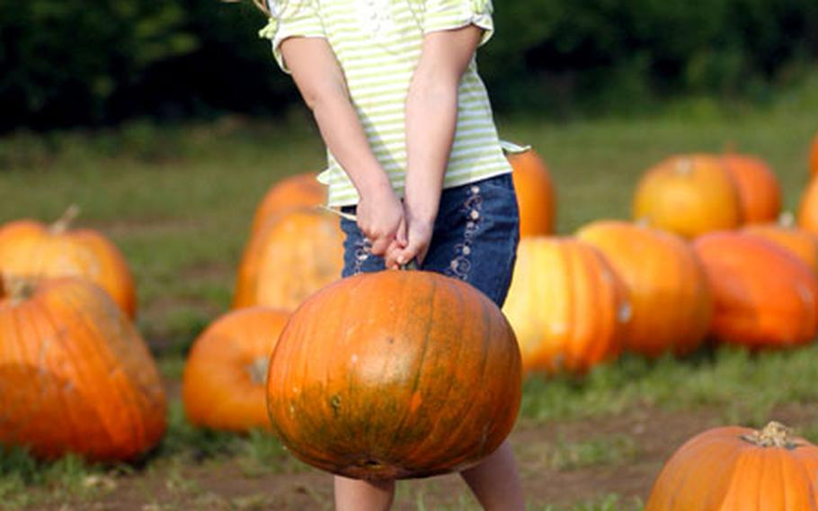 Sarah Driscoll, 5, picks out her favorite pumpkin from the hundreds displayed at Pooley Farm in Beck Row.