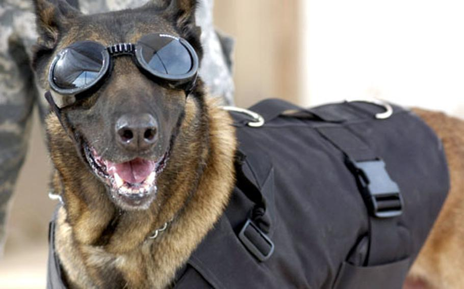 Rudy, a military dog with the 3rd Brigade Combat Team at Contingency Operating Base Speicher in Tikrit, Iraq, sports his protective gear — Doggles and Kevlar vest. The 6-year-old is fiercely protective of handler Audra Rose, 22, from Memphis, Tenn., who normally works at the 6th Military Police Detachment at Fort Rucker, Ala.
