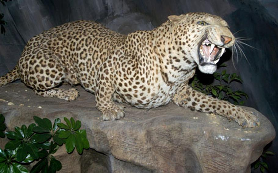 A fierce leopard seems ready to defend himself or pounce on his prey inside the Victorian Natural History exhibit at the Ipswich Museum. The exhibit has an extensive collection of stuffed animals.