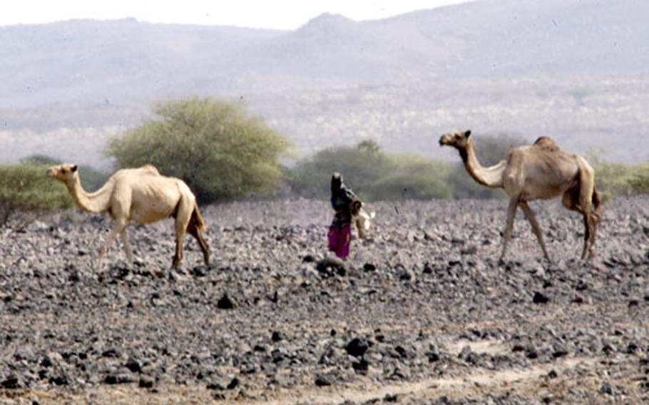 An Afar woman herds camels along an ancient pass near the Ethiopian border in Djibouti. The U.S. military installed a solar powered well nearby so that nomads could find water for themselves and their animals, but U.S. Army well drillers found the device had been torn apart on Saturday.