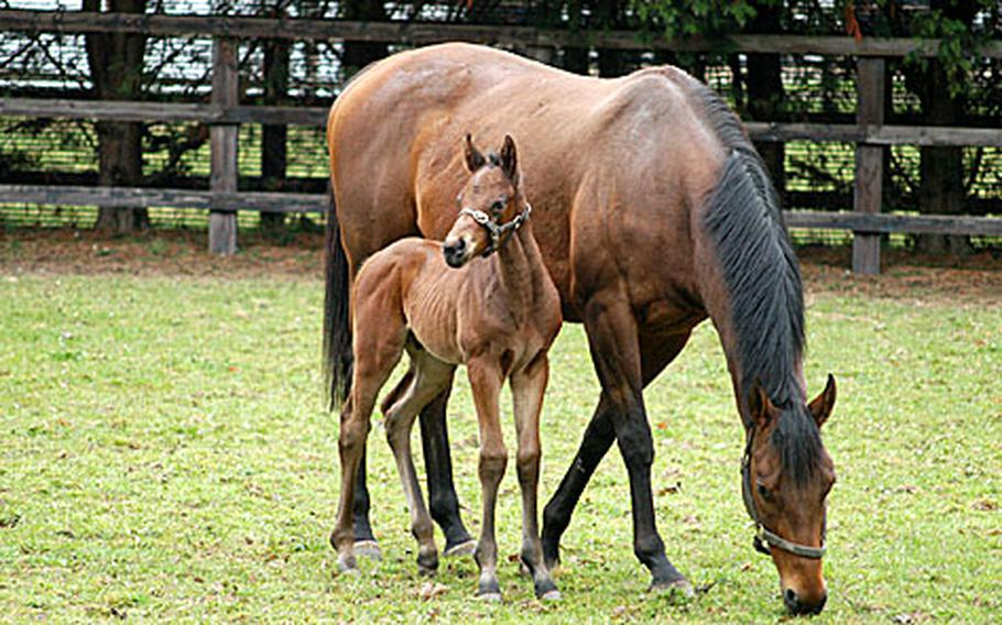 A mother grazes while her young one stays nearby at The National Stud, a breeding estate two miles southwest of Newmarket.