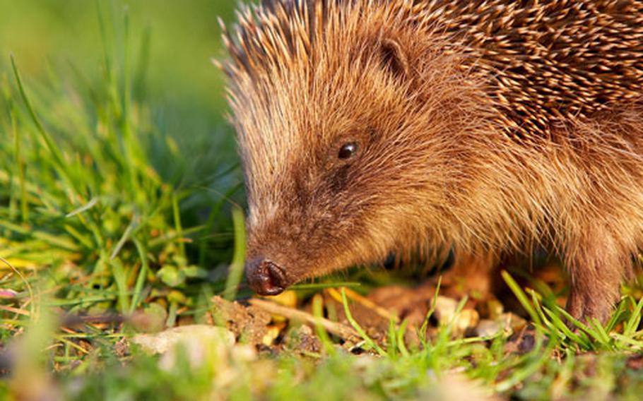 A European hedgehog rummages through a yard in rural Norfolk county, England.