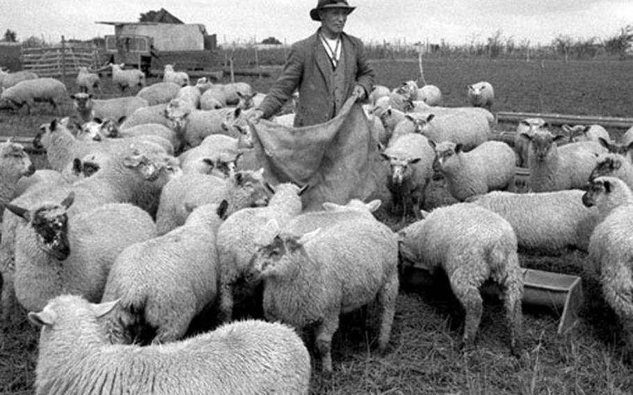 Kiln Farm workers had about 1,400 sheep to keep track of.