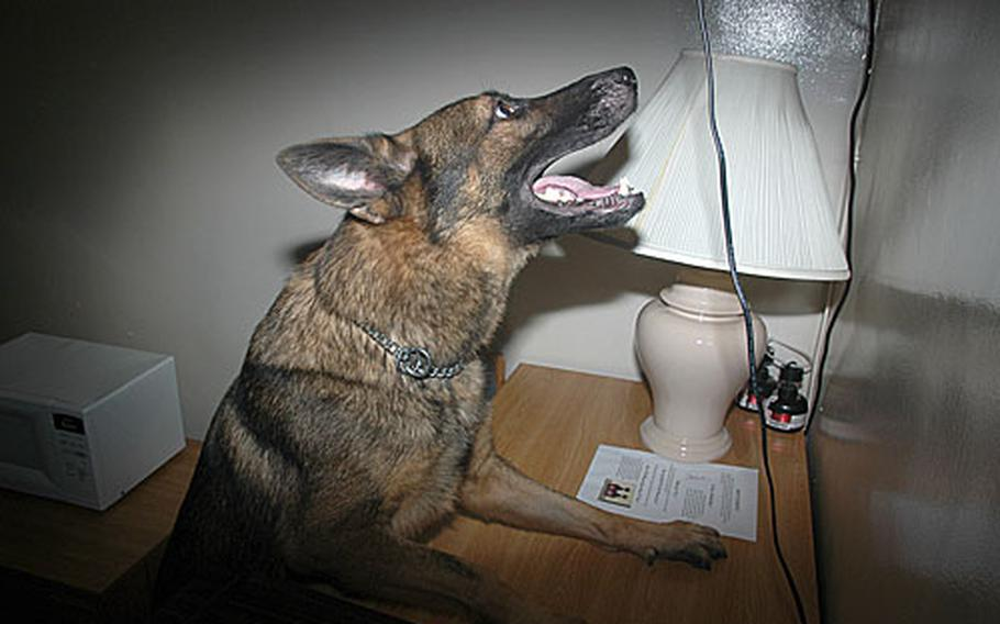 """When his military police dog handler asks Miester, a 3-year-old German Sheppard, """"Where the drugs are?"""" the dog jumps up to get closer to the drug smell during a training exercise at the West Pac Barracks on Camp Foster. Handlers hid several cannisters with minute amounts of drugs throughout the barracks for the dogs to find."""