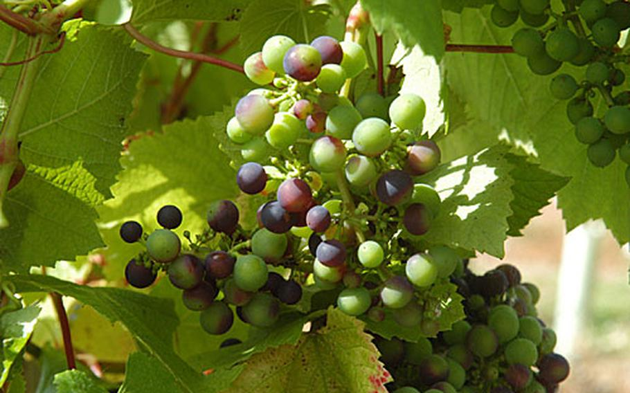 Rondo grapes ripen on the vine at the Chilford Hall Vineyard and Winery. The little guys will become the light, sweet and bubbly rose that has won the vineyard accolades.