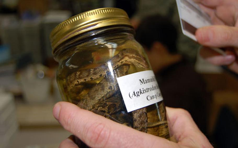 A preserved mamushi pit viper in a jar at Yongsan Garrison, South Korea, is similar to one that recently bit a Camp Humphreys troop. It is one of four species of venomous, and possibly deadly, snakes in South Korea.