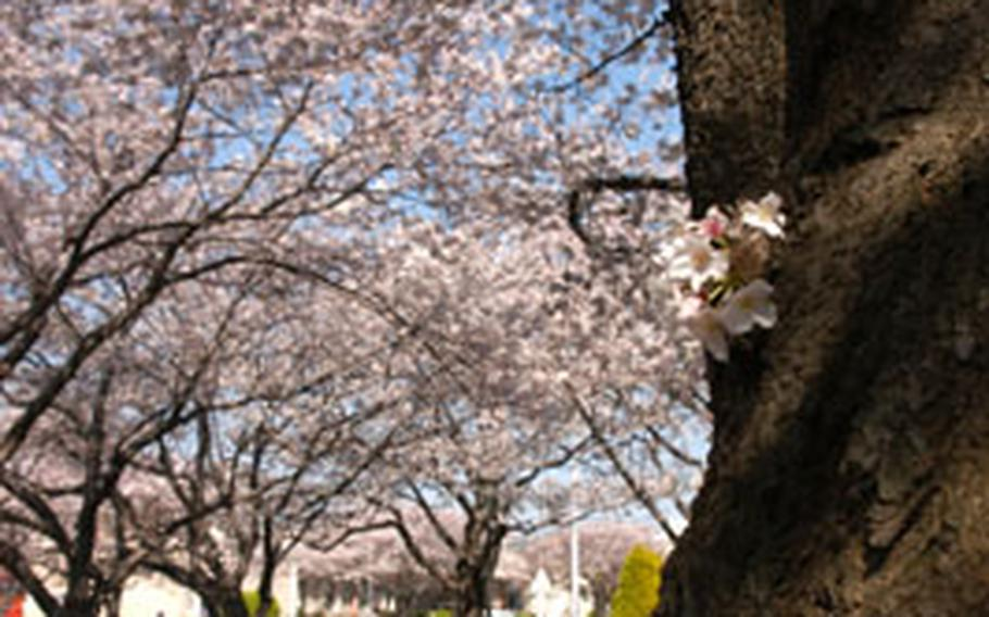 Yokosuka's many cherry trees will be showcased this weekend at the annual Spring Festival open-base event this Sunday.