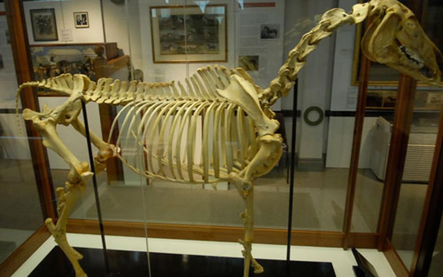 A horse skeleton on display at the National Horse racing Museum in Newmarket shows the powerful animal's inner frame work.