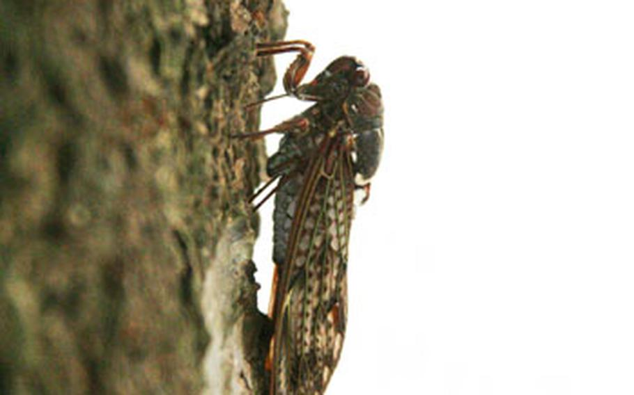 This abura zemi is one of the most common found in Japan's Kanto region and is one of many cicada species responsible for the loud buzzing in the trees.