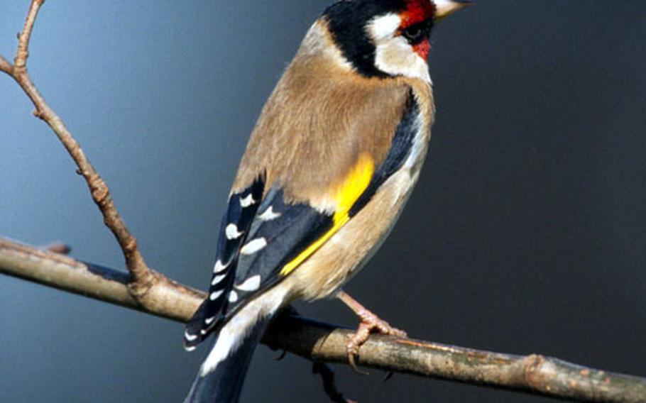 Goldfinches are among the birds visitors can see at the Lakenheath Fen.