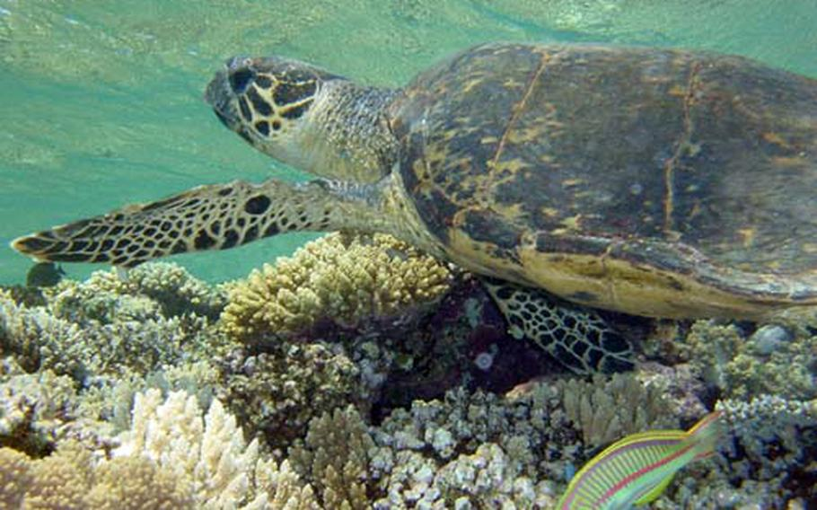 Habitat for hawksbill turtles (photo) and green sea turtles can be harmed by projects such as paving beaches and stripping vegetation, according to a news release by the Public Employees for Environmental Responsibility.