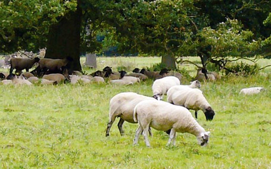 The Ickworth estate is still a working farm, so herds of sheep are a common sight.