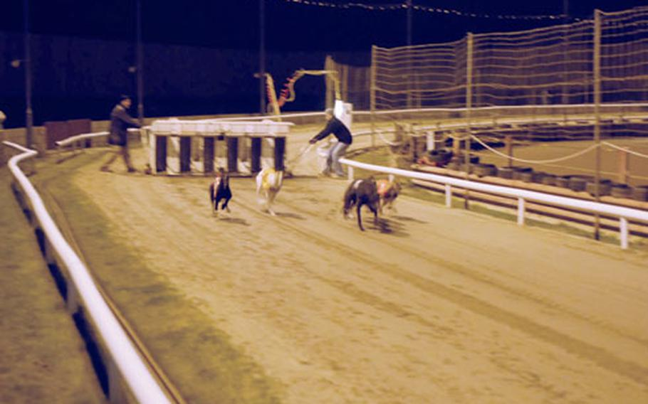 Greyhounds race down the track.