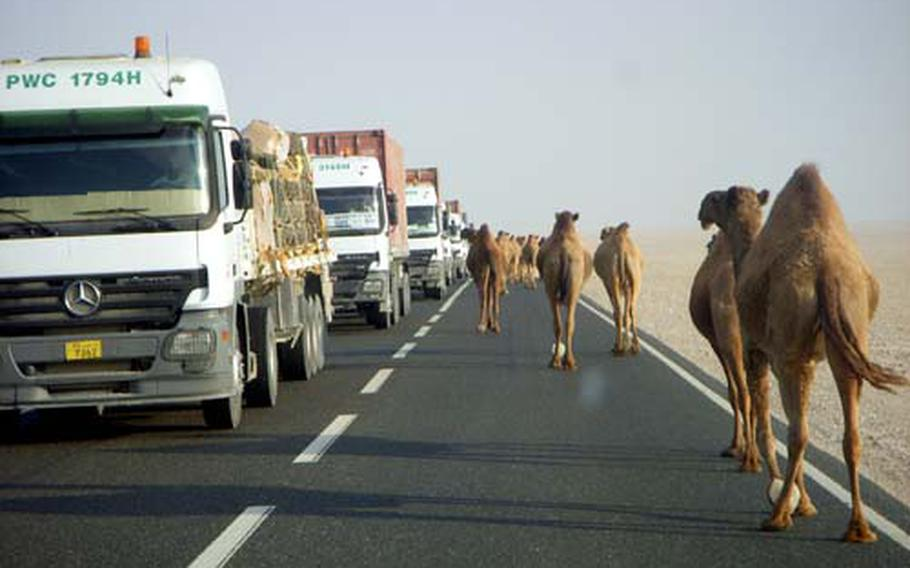 Camels take over one side of the road that soldiers of the the 623rd Movement Control Team must face on a daily basis on their hour-long commute from Camp Buehring to Khabari Alawazem Crossing in Kuwait.