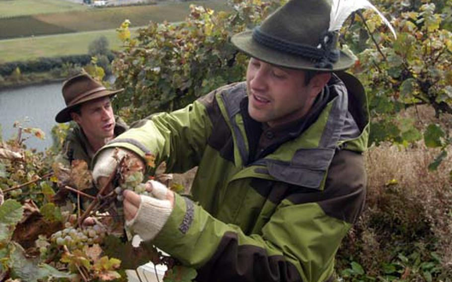 """Staff Sgt. Valentino """"Vito"""" Cipolla cuts the first grapes of the day at his vineyard in Piesport, Germany. In the background is one of his few employees, retired Air Force Maj. Mark Schmidt."""