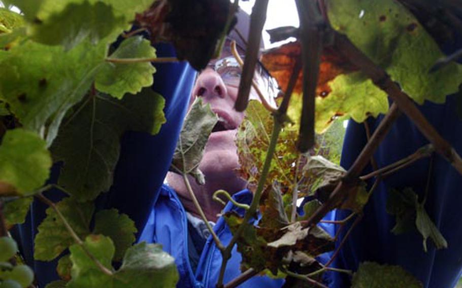 Volunteers from Spangdahlem Air Base pick grapes.