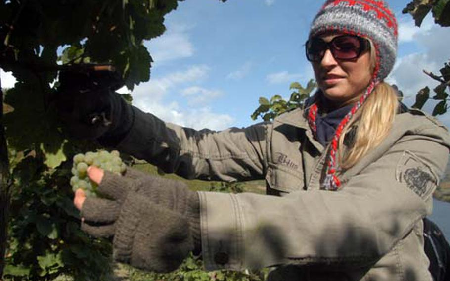 Staff Sgt. Martha Johnson, of the 52nd Logistics Readiness Squadron at Spangdahlem Air Base, plucks a grape bunch from the vine. She was among about 40 people who volunteered to pick grapes.