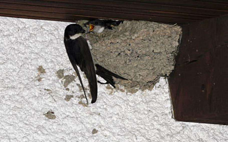 A house martin feeds its young. The colony of house martins in Baumholder, with about 240 nests on the Army base alone, is the largest in the state of Rheinland-Pfalz.